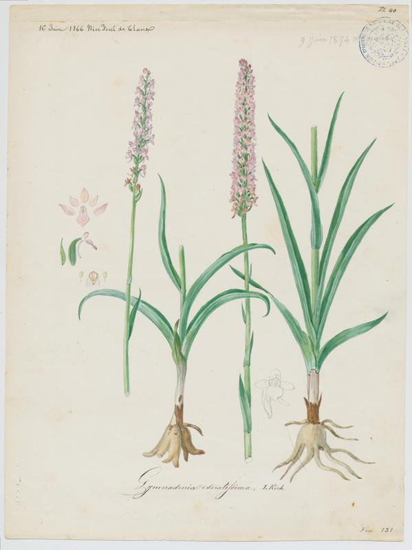 BARLA Jean-Baptiste (attribué à) : Gymnadenie odorante, Orchis odorant, plante à fleurs
