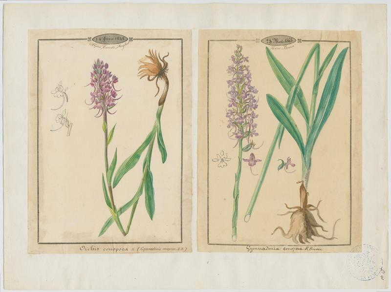 Gymnadénie moucheron ; Orchis moucheron ; Orchis moustique ; plante à fleurs_0