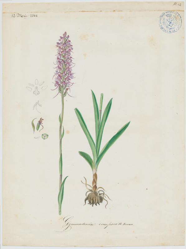 BARLA Jean-Baptiste (attribué à) : Gymnadénie moucheron, Orchis moucheron, Orchis moustique, plante à fleurs