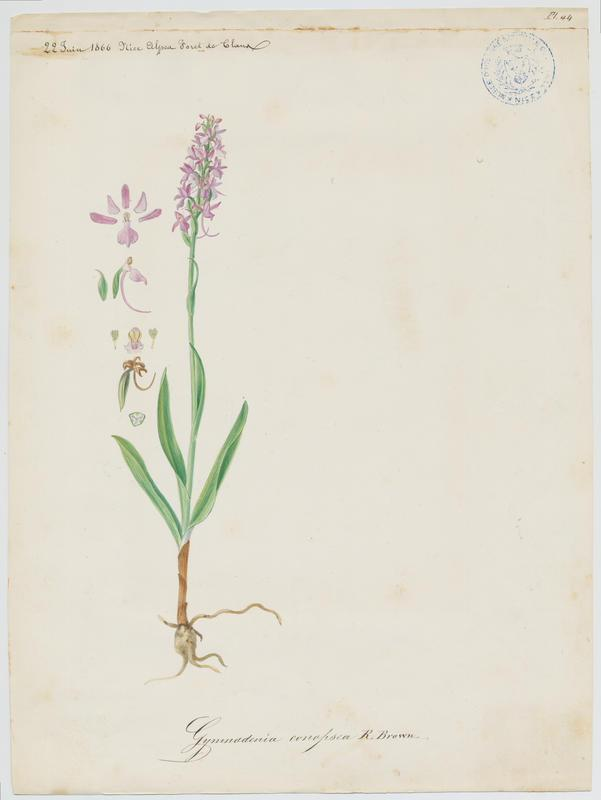 Gymnadénie moucheron ; Orchis moucheron ; Orchis moustique ; plante à fleurs