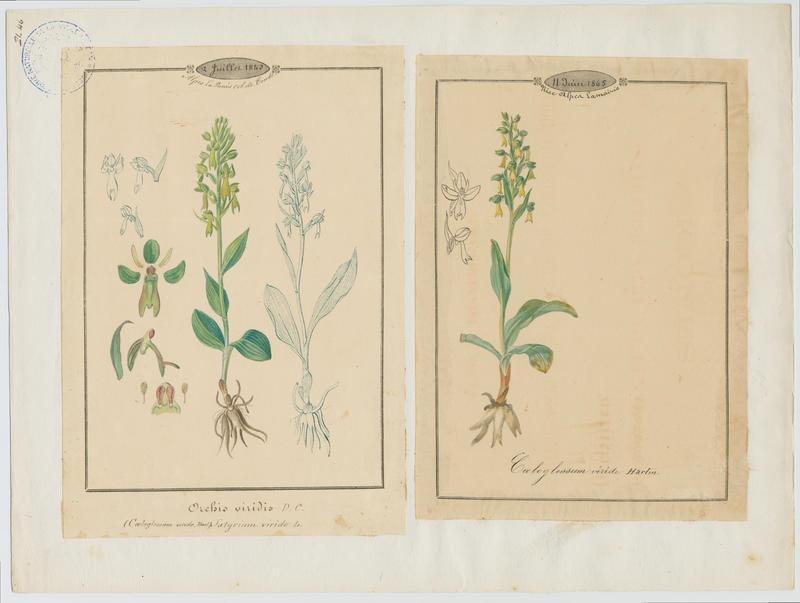 Orchis vert ; Orchis grenouille ; Satyrion vert ; plante à fleurs_0