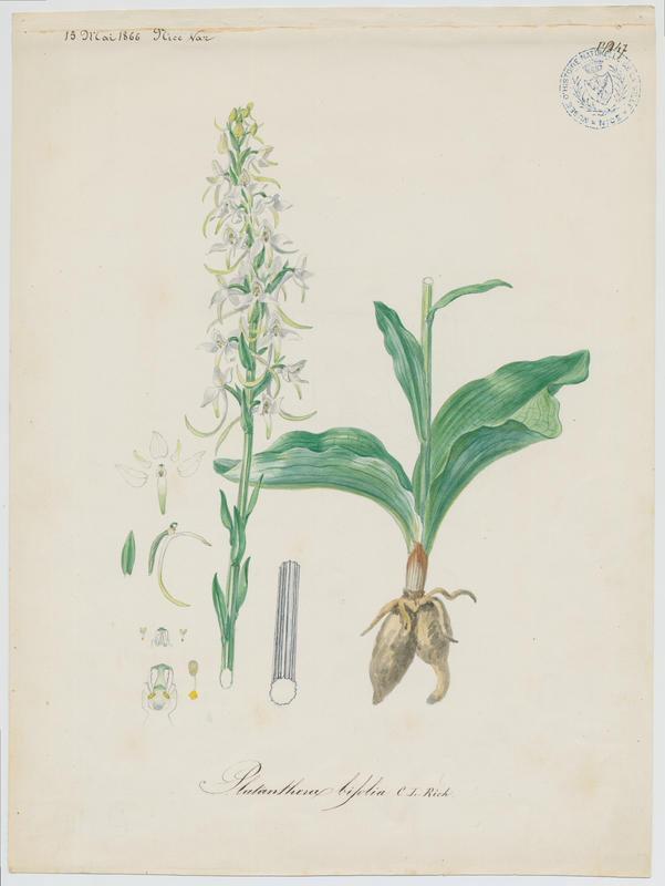 Orchis à deux feuilles ; Platanthère à deux feuilles ; Platanthère à fleurs blanches ; plante à fleurs