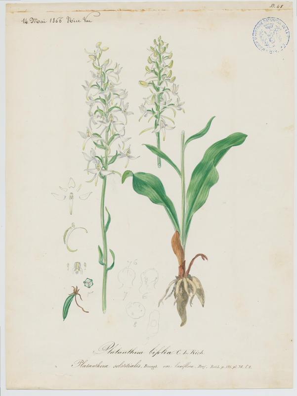 Orchis à deux feuilles ; Platanthère à deux feuilles ; Platanthère à fleurs blanches ; plante à fleurs_0
