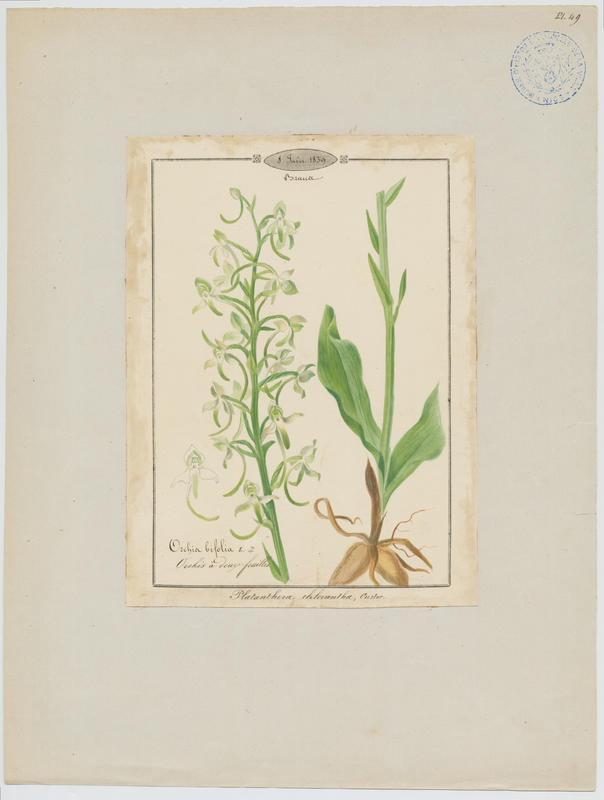 Orchis vert ; Orchis verdâtre ; Platanthère à fleurs verdâtres ; plante à fleurs