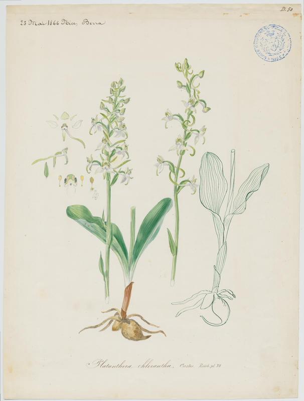 BARLA Jean-Baptiste (attribué à) : Orchis vert, Orchis verdâtre; Platanthère à fleurs verdâtres, plante à fleurs