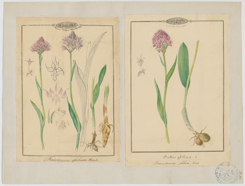 BARLA Jean-Baptiste (attribué à) : Orchis globuleux, plante à fleurs
