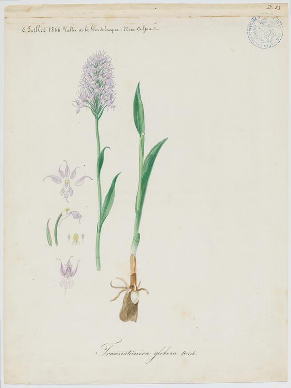 Orchis globuleux ; plante à fleurs_0