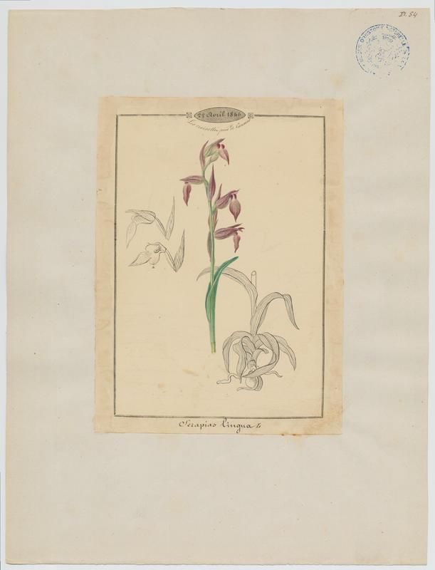 Sérapias langue ; Sérapias à languette ; plante à fleurs_0