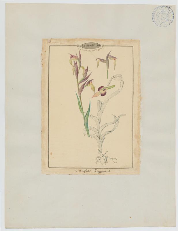 BARLA Jean-Baptiste (attribué à) : Sérapias langue, Sérapias à languette, plante à fleurs