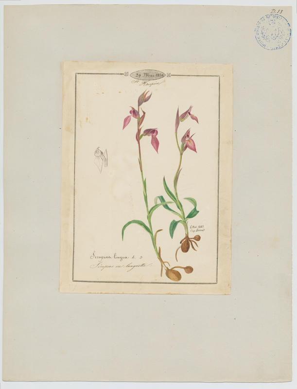 BARLA Jean-Baptiste (attribué à) : Sérapias langue, Serapias en languette, plante à fleurs