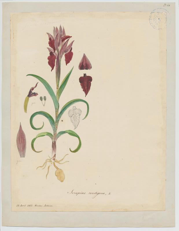 Sérapias en coeur ; plante à fleurs_0
