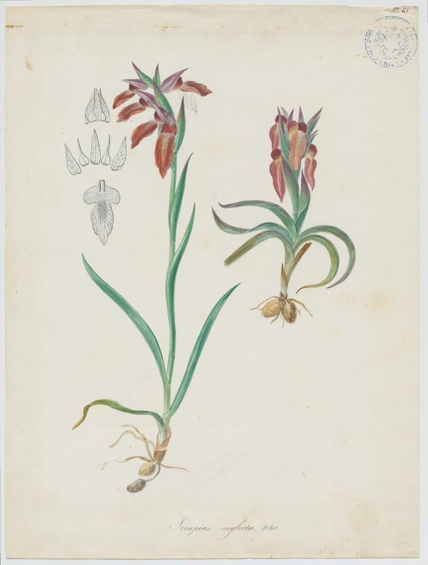 BARLA Jean-Baptiste (attribué à) : Sérapias négligé, plante à fleurs