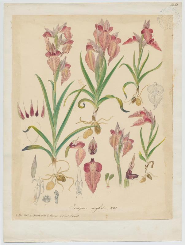 Sérapias négligé ; plante à fleurs_0