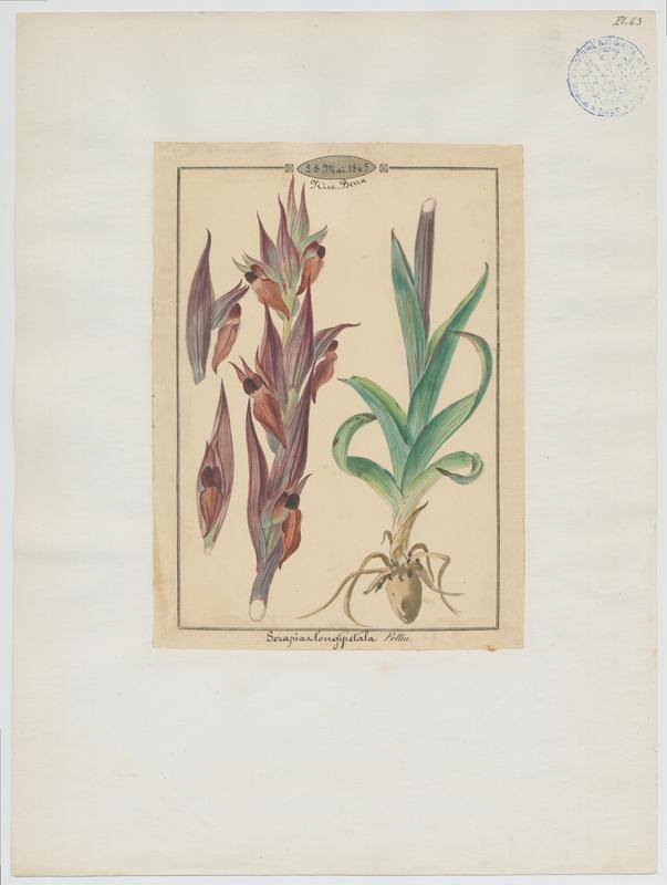 Sérapias à labelle allongé ; plante à fleurs