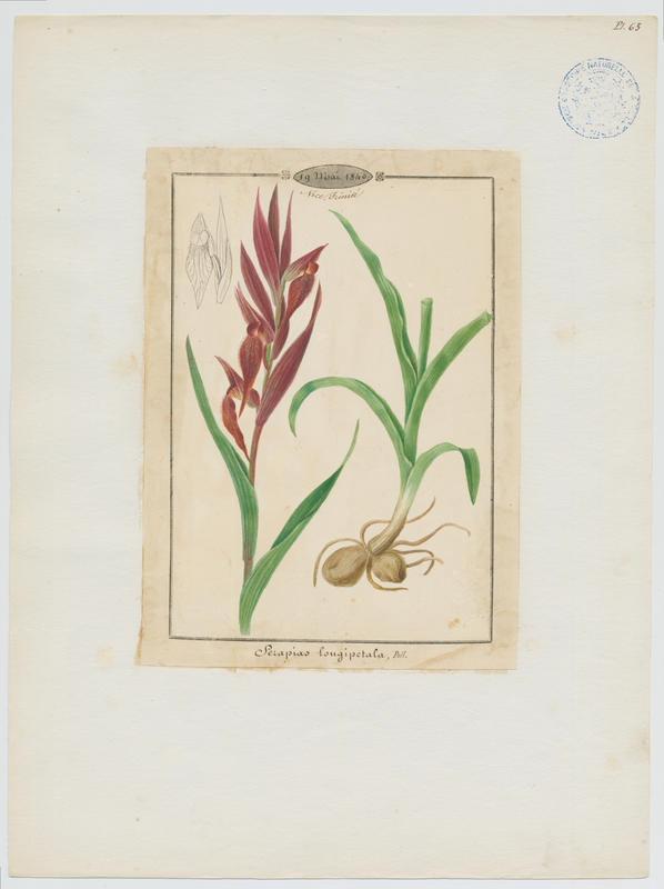BARLA Jean-Baptiste (attribué à) : Sérapias à labelle allongé, plante à fleurs