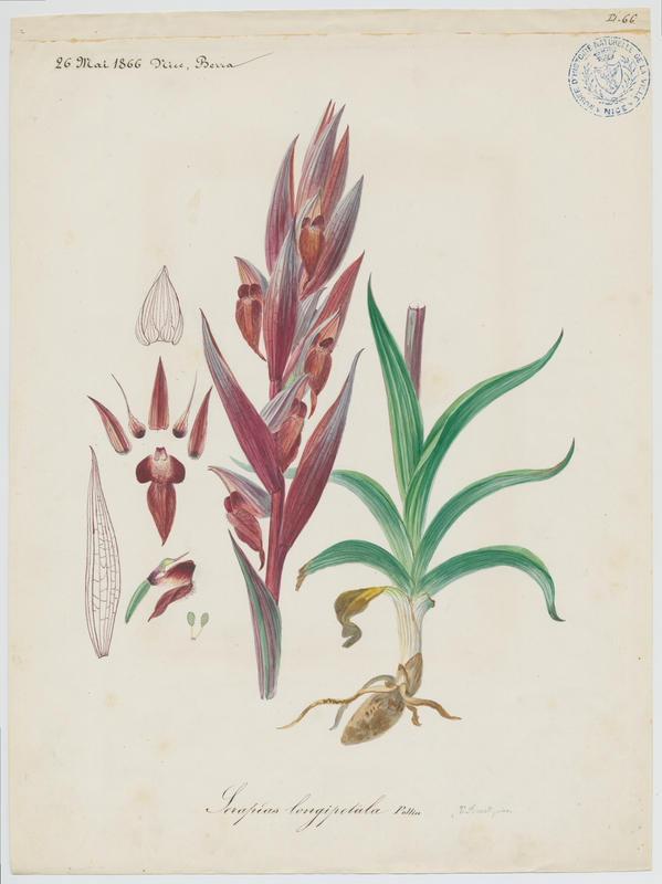 FOSSAT Vincent (aquarelliste, peintre) : Sérapias à labelle allongé, plante à fleurs