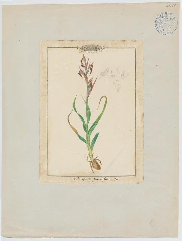 BARLA Jean-Baptiste (attribué à) : Sérapias à petites fleurs, plante à fleurs