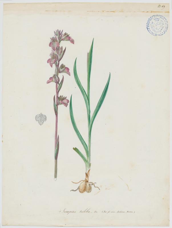 BARLA Jean-Baptiste (attribué à) : Orchidée, plante à fleurs