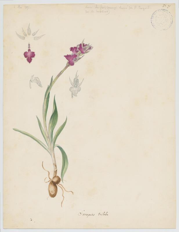 Orchidée ; plante à fleurs