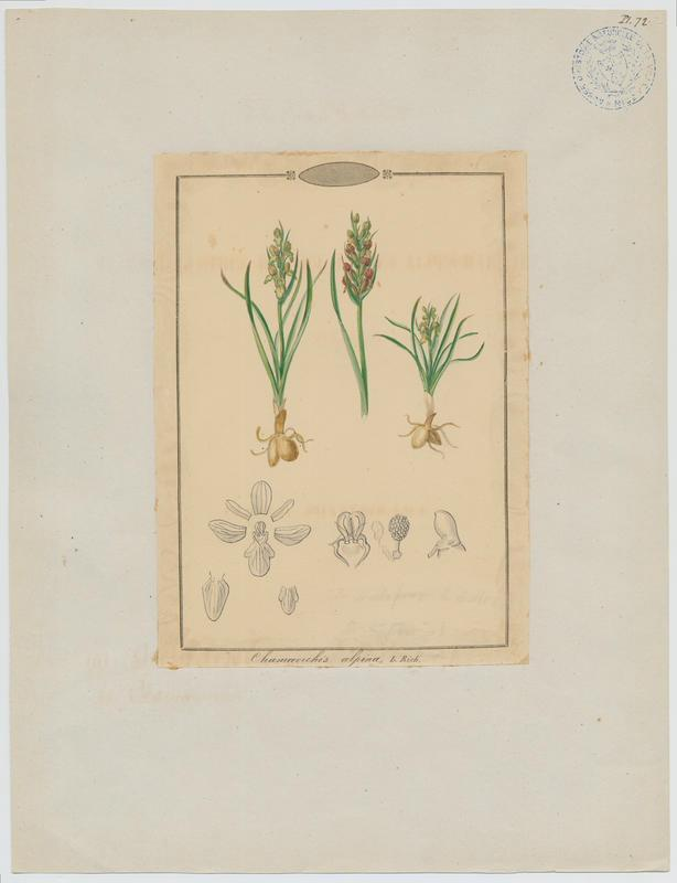BARLA Jean-Baptiste (attribué à) : Orchis nain des Alpes, plante à fleurs