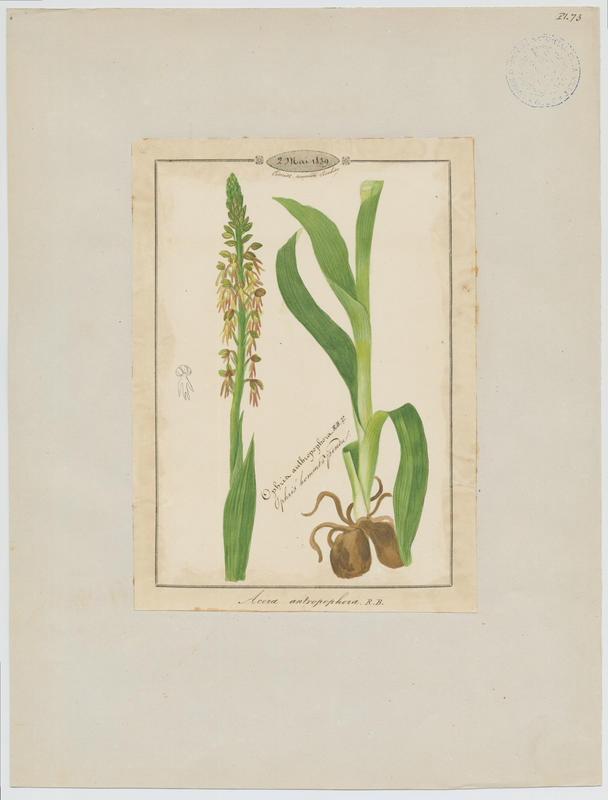 BARLA Jean-Baptiste (attribué à) : Orchis homme pendu, Acéras homme pendu, Porte-Homme, Pantine, Homme-pendu, Ophris homme pendu, plante à fleurs