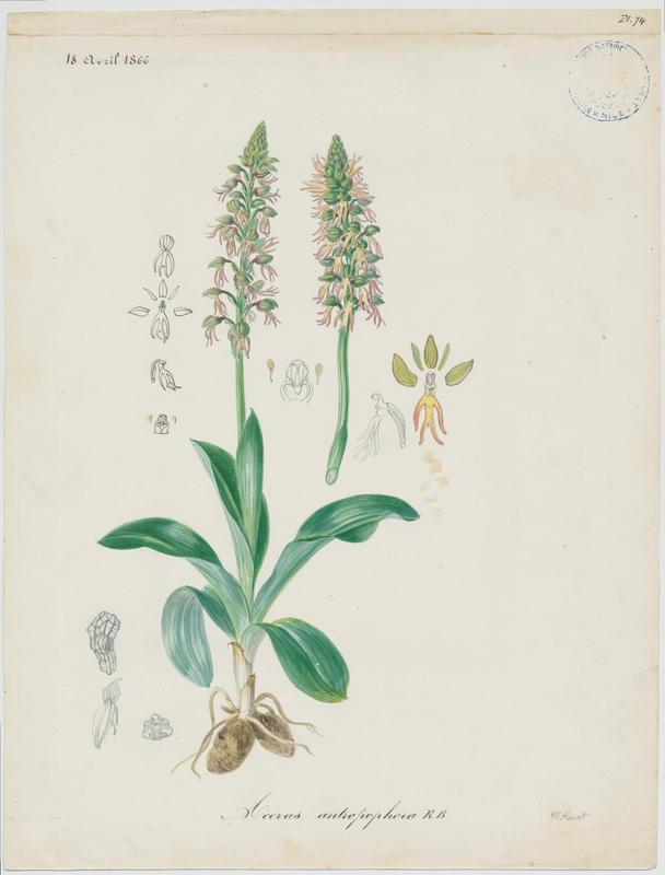 Orchis homme pendu ; Acéras homme pendu ; Porte-Homme ; Pantine ; Homme-pendu ; Ophris homme pendu ; plante à fleurs_0