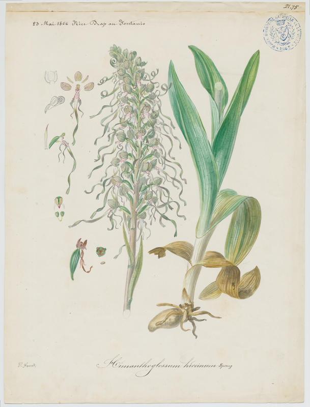 Orchis bouc ; Himantoglosse à odeur de bouc ; plante à fleurs_0