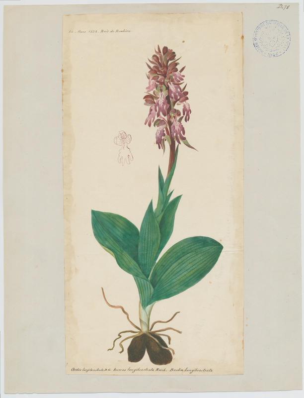 Orchis à longues bractées ; plante à fleurs_0