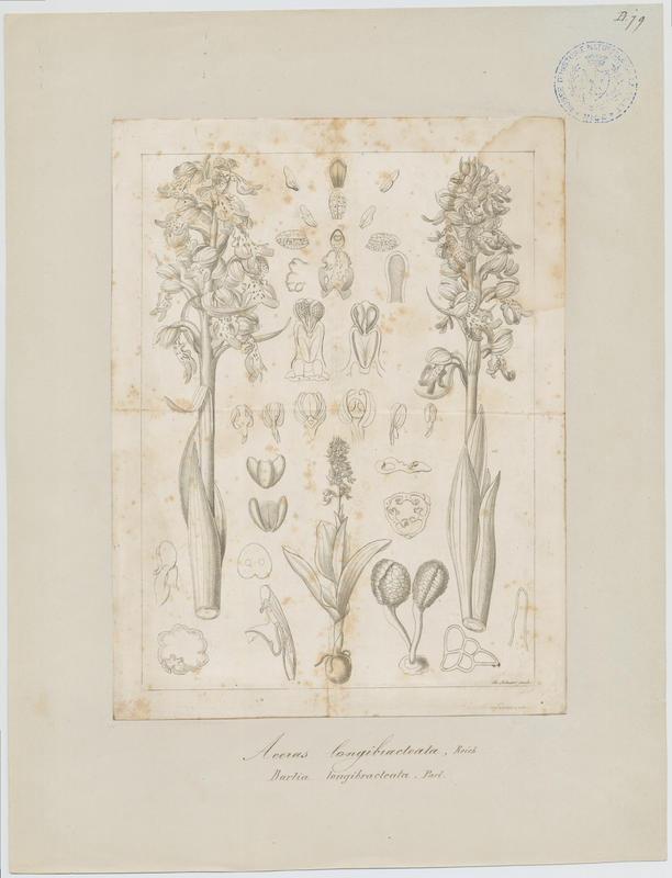 BARLA Jean-Baptiste (attribué à) : Orchis à longues bractées, plante à fleurs