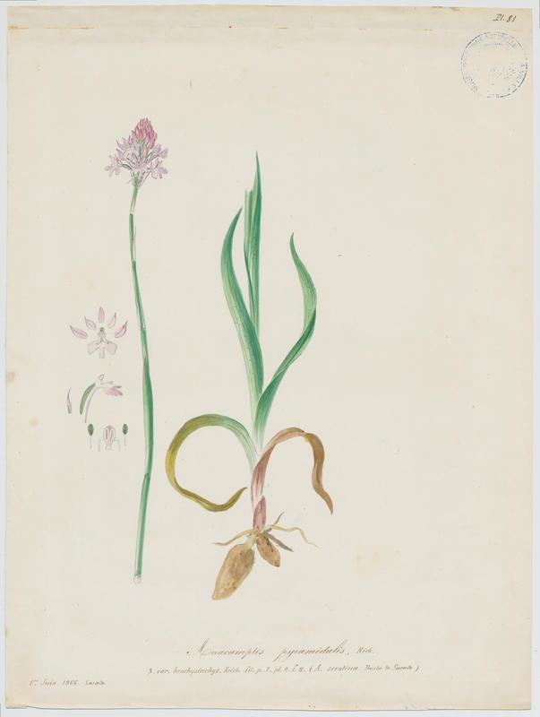 Orchis pyramidal ; Anacamptis en pyramide ; plante à fleurs