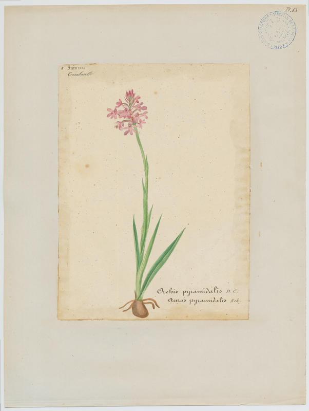 Orchis pyramidal ; Anacamptis en pyramide ; plante à fleurs_0