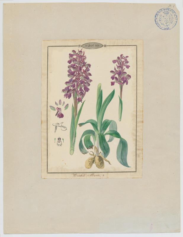 Orchis bouffon ; plante à fleurs