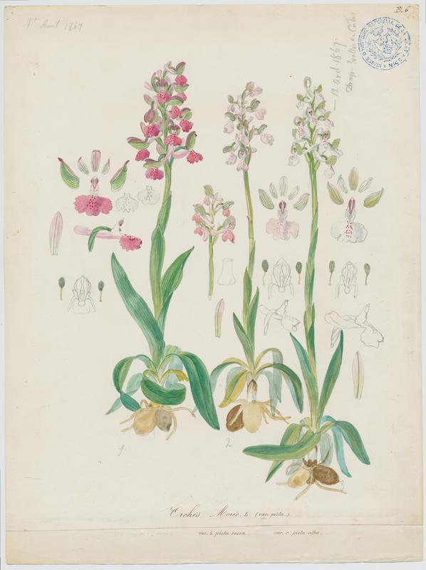 BARLA Jean-Baptiste (attribué à) : Orchis bouffon, plante à fleurs