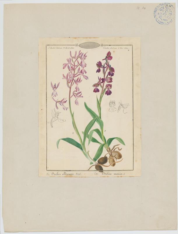 Orchis bouffon ; plante à fleurs_0