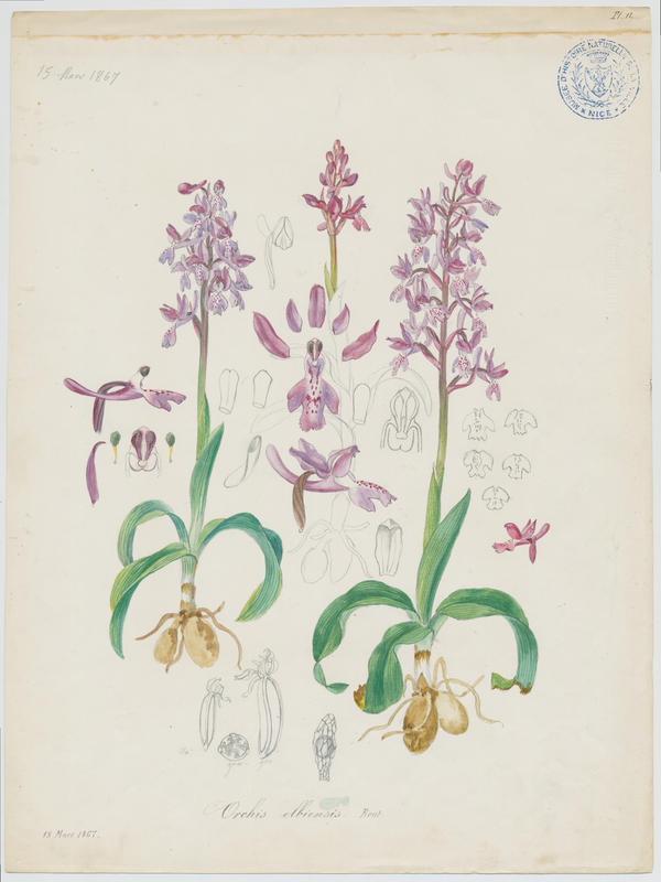 Orchis d'Hyères ; plante à fleurs_0