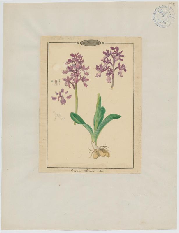 BARLA Jean-Baptiste (attribué à) : Orchis d'Hyères, plante à fleurs