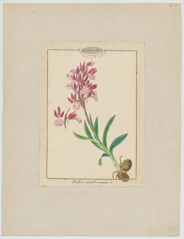 BARLA Jean-Baptiste (attribué à) : Orchis papilon, plante à fleurs