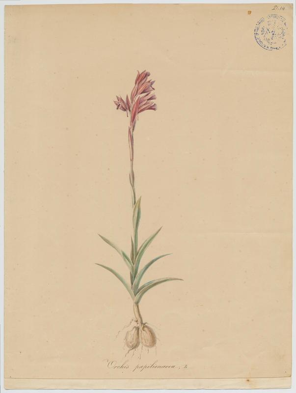 Orchis papilon ; plante à fleurs_0