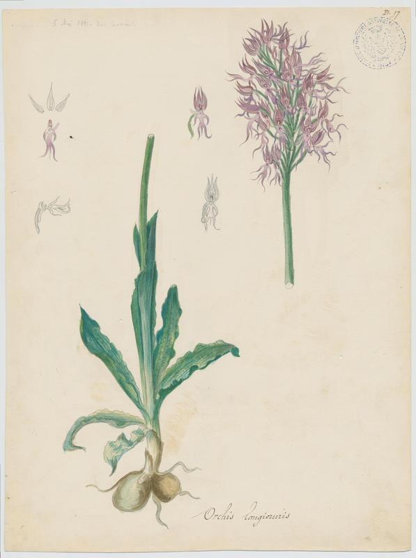 LOMBARDI Charles : Orchidée d'Italie, plante à fleurs