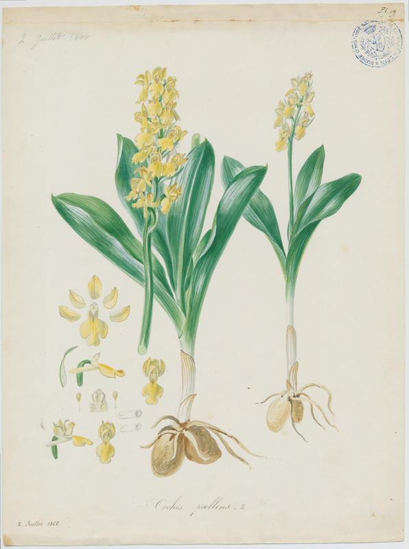 BARLA Jean-Baptiste (attribué à) : Orchis pâle, plante à fleurs
