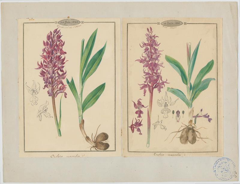 Orchis mâle ; Herbe à la couleuvre ; plante à fleurs_0