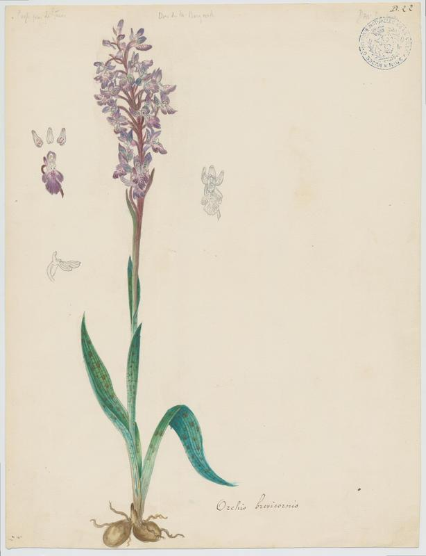 Orchis de Spitzel  ; Orchis à corne courte ; plante à fleurs
