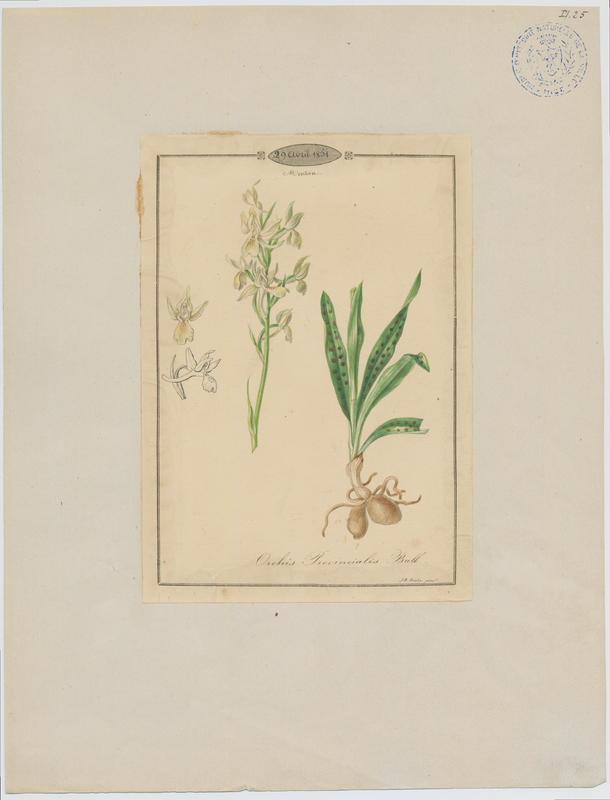 BARLA Jean-Baptiste : Orchis de Provence, plante à fleurs