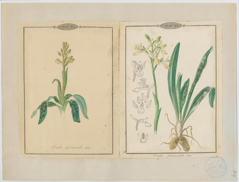 Orchis de Provence ; plante à fleurs_0