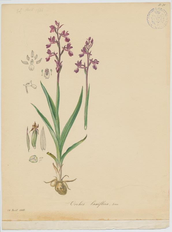 Orchis à fleurs lâches ; plante à fleurs_0
