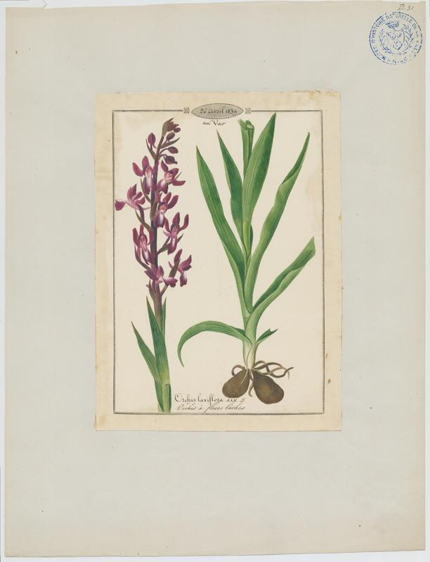 Orchis à fleurs lâches ; plante à fleurs