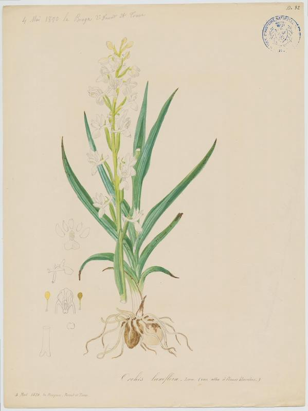 FOSSAT Vincent (aquarelliste, peintre) : Orchis à fleurs lâches, plante à fleurs