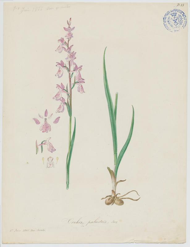 Orchis des marais ; plante à fleurs