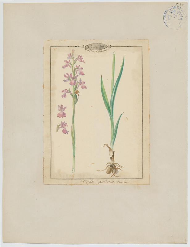 Orchis des marais ; plante à fleurs_0
