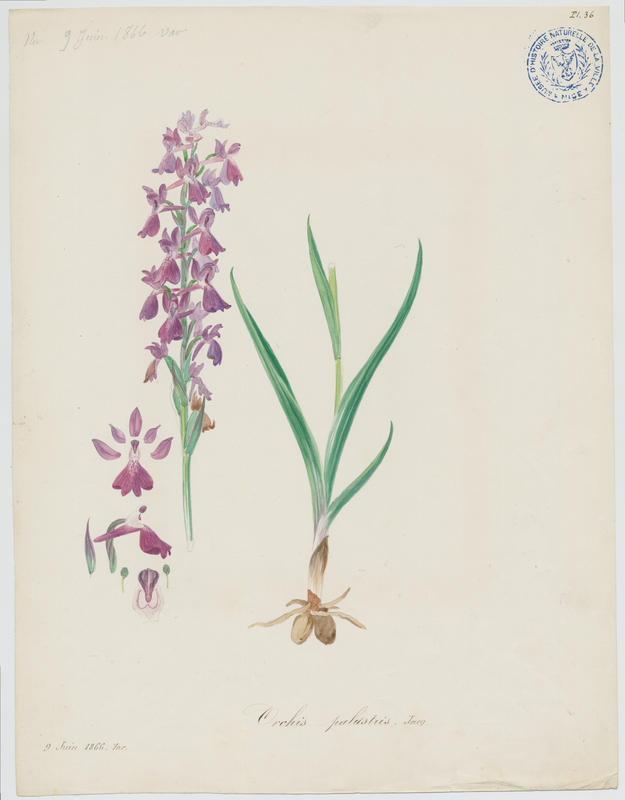 BARLA Jean-Baptiste (attribué à) : Orchis des marais, plante à fleurs